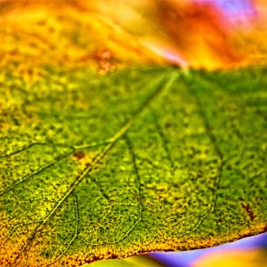 1017 Redbud Leaf
