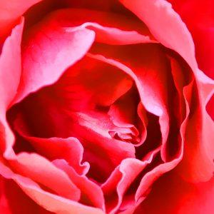 1052 Rose