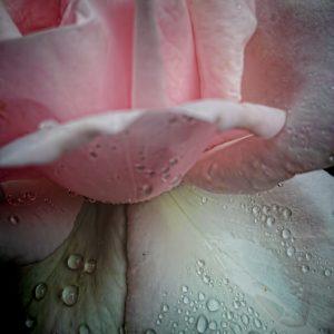 2044 Rose